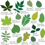 Leaves collection with names Stock Images