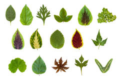 Leaf Collection Set. High quality set of summer leaves - all indiginous to Guatemala Royalty Free Stock Photography