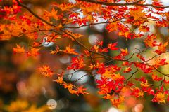 Free Leaves Color Change, Autumn Leaves In Akita, Japan,soft Focus Stock Images - 134211374