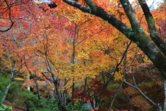 The Leaves color change in tofukuji temple at kyoto in Japan