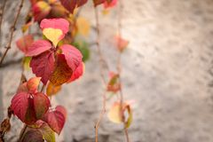 Leaves have turned red during a few weeks in the autumn season , Close up view of Hedera helix, english ivy,with text space. The leaves color  have turned Royalty Free Stock Image