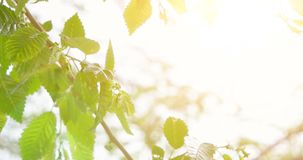 Leaves of Common Elm, fresh tree leaves in morning sunlight, selective focus, shallow DOF. New life beginning or happy future concept stock footage