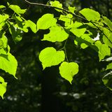 Leaves of Common Lime, Tilia Europeaea, tree in morning sunlight, selective focus, shallow DOF.  royalty free stock images