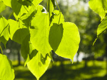 Leaves of Common Lime, Tilia Europeaea, tree in morning sunlight, selective focus, shallow DOF.  royalty free stock photo