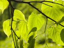 Leaves of Common Lime, Tilia Europeaea, tree in morning sunlight, selective focus, shallow DOF.  stock photo