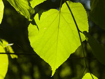 Leaves of Common Lime, Tilia Europeaea, tree in morning sunlight, selective focus, shallow DOF.  royalty free stock photos