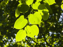 Leaves of Common Lime, Tilia Europeaea, tree in morning sunlight, selective focus, shallow DOF.  royalty free stock image