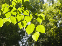 Leaves of Common Lime, Tilia Europeaea, tree in morning sunlight, selective focus, shallow DOF.  stock images