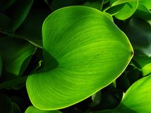 Leaves of ' Common water hyacinth ' Royalty Free Stock Photography