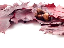 Leaves and conker Royalty Free Stock Image