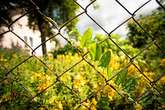 Leaves of the Convolvulus arvensis bindweed grows entwined over the fence in the garden Stock Photos