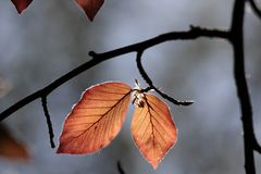 Leaves of copper beech Stock Photo