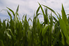 Leaves of corn Stock Image