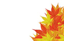 Leaves in a corner. Pile of maple leaves in corner isolated on white Stock Image