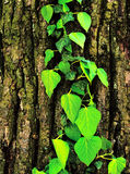 Leaves on a cortex. Green bright leaves on a brown cortex Royalty Free Stock Image