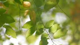 Leaves Of Corylus Bushes stock video