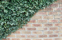 Leaves cover brick wall Royalty Free Stock Photo