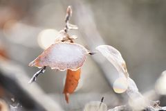 The leaves are covered with crystals of sparkling snow. Thaw, spring, frost. natural background Royalty Free Stock Photography