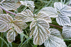 Leaves covered with frost Stock Images