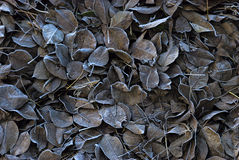 Leaves covered with frost. Leaves pear Royalty Free Stock Images