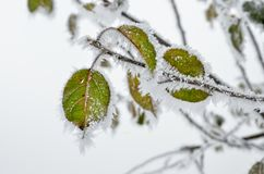 Leaves covered with frost in the winter woods.  Royalty Free Stock Photo