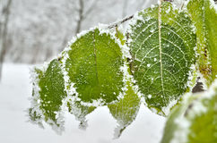 Leaves covered with frost in the winter woods.  Stock Image