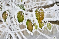 Leaves covered with frost in the winter woods.  Royalty Free Stock Image