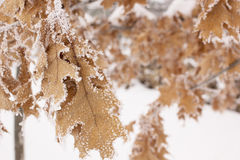Leaves covered in frosty snow Stock Images