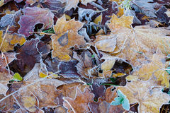 Leaves covered with hoarfrost Royalty Free Stock Image