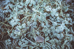 Leaves covered with hoarfrost Stock Photography