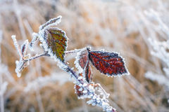 Leaves covered with hoarfrost Royalty Free Stock Photo