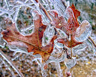 Leaves Covered in a Sheet of Ice. Leaves that are covered in ice after a bad winter storm. The wind was blowing so hard that the ice is blown upward on top Stock Images
