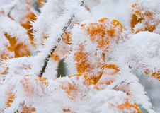 Leaves  covered with snow Stock Photos