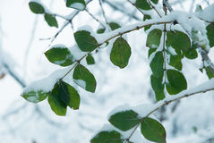 Leaves covered with snow Stock Photography