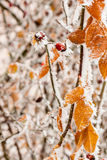 Leaves Covered With Hoarfrost And Snow Stock Image