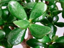 Leaves Crassula Stock Images