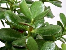 Leaves Crassula Stock Photo