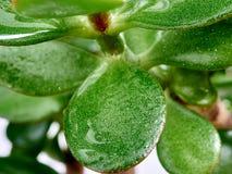 Leaves Crassula Royalty Free Stock Images