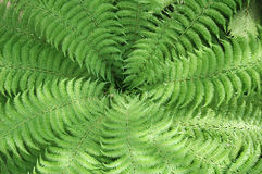 Leaves creating a spiral. Fern leaves making a pretty green spiral shape Royalty Free Stock Photos