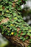 Leaves creeper. On the tree branch stock images