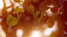 Leaves crock in the wind. The Autumn stock video footage