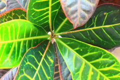 Leaves of a Croton Plant Stock Images