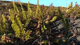 Leaves crowberries. Crowberry thickets of plants in a swamp in the tundra stock video footage
