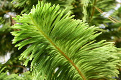 The leaves. Of Cryptomeria fortunei Royalty Free Stock Photo