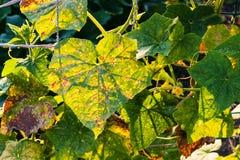 Leaves of cucumber plantation in garden. Leaves of cucumber plantation damaged by spider mite in garden at summer sunset in Krasnodar region of Russia Royalty Free Stock Image
