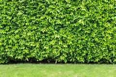 Leaves curtain or tree wall.  Stock Photo