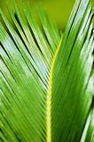 Leaves of   Cycas Stock Photography