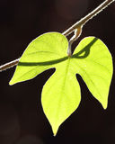 Leaves with dark background. Spring Royalty Free Stock Photos