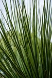 Leaves of dasylirion acrotrichum dracenaceae palm leaf plant tree from mexico. Dasylirion acrotrichum dracenaceae palm leaf plant tree from mexico close up view Royalty Free Stock Image