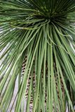 Leaves of dasylirion acrotrichum dracenaceae palm leaf plant tree from mexico. Dasylirion acrotrichum dracenaceae palm leaf plant tree from mexico close up view Royalty Free Stock Photos